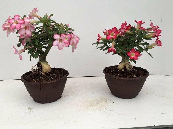 Due piante bonsai con dei fiori