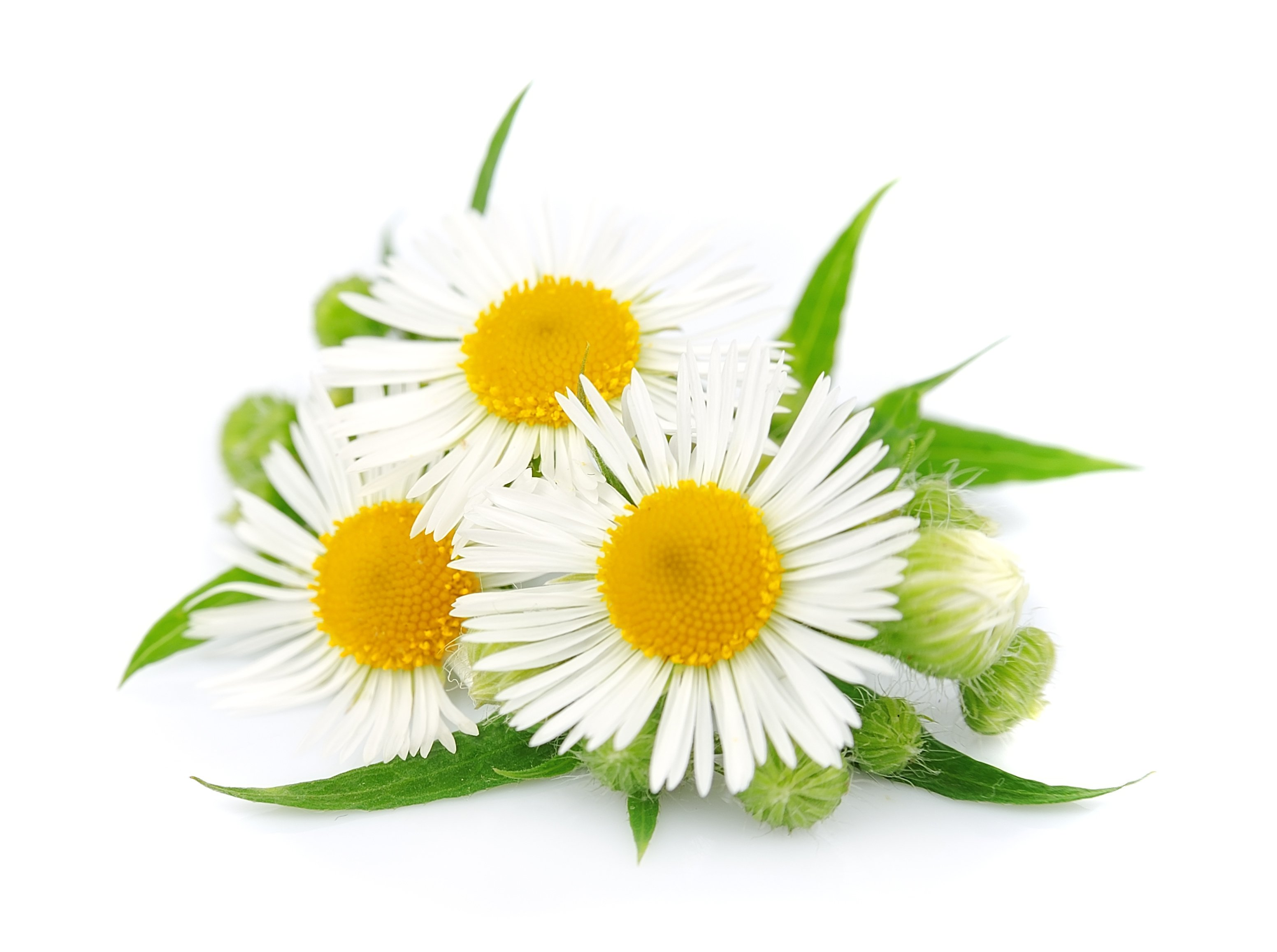 OMS Chamomile