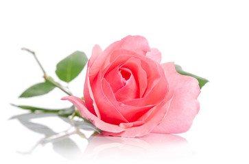 OMS Rose