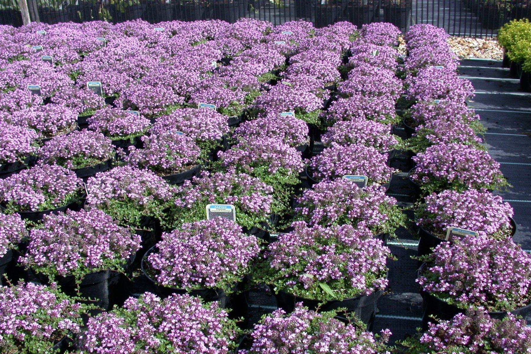 Thymus Russetings