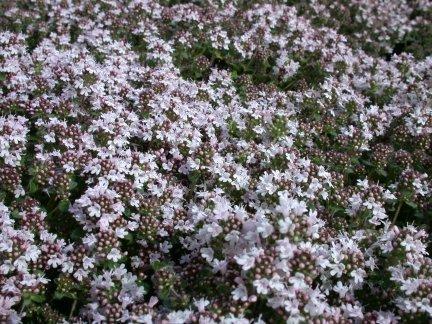 Thymus Pink Chintz