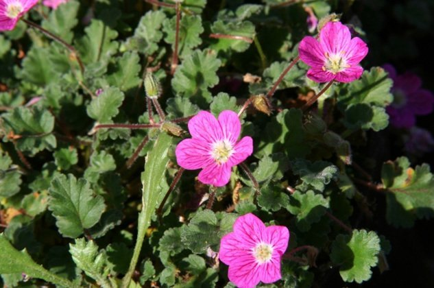Erodium Bishops Form