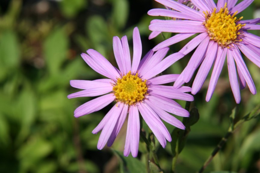 Aster Sonia