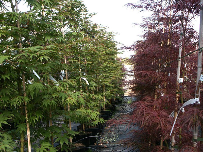 Acers in variety