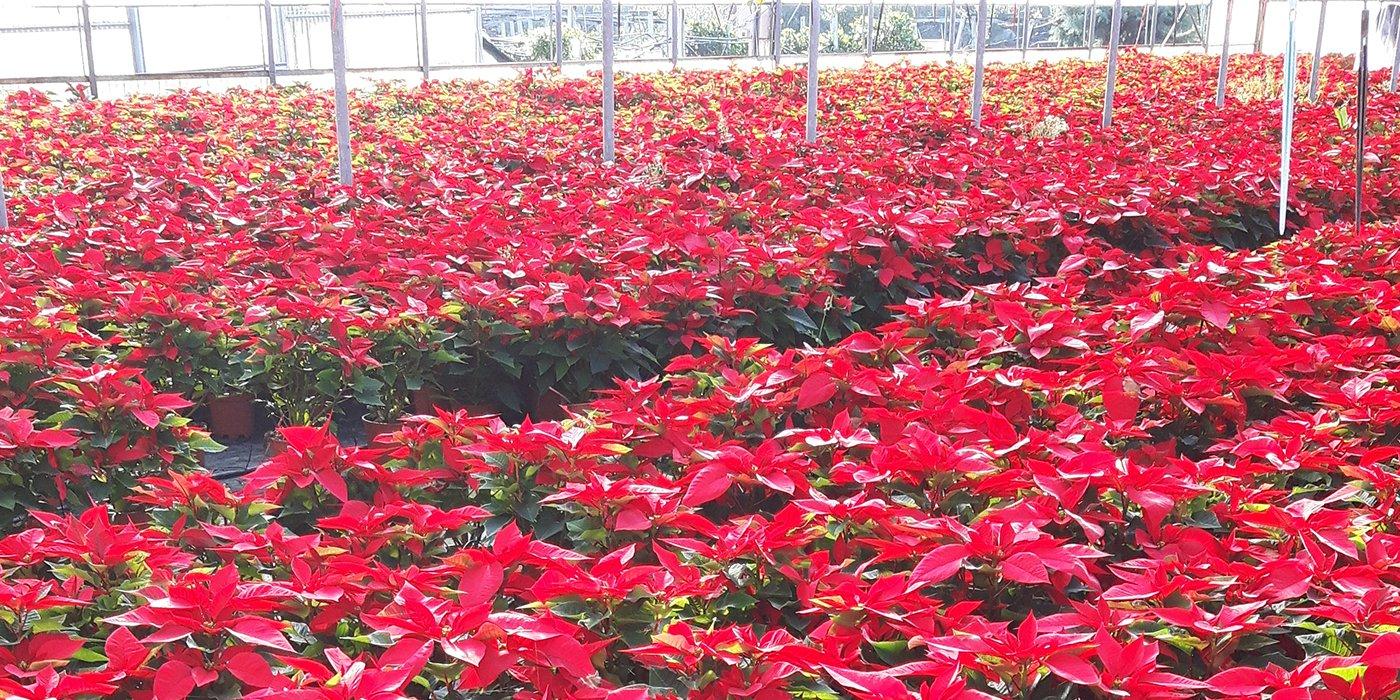un insieme di piante Stelle di Natale in una serra