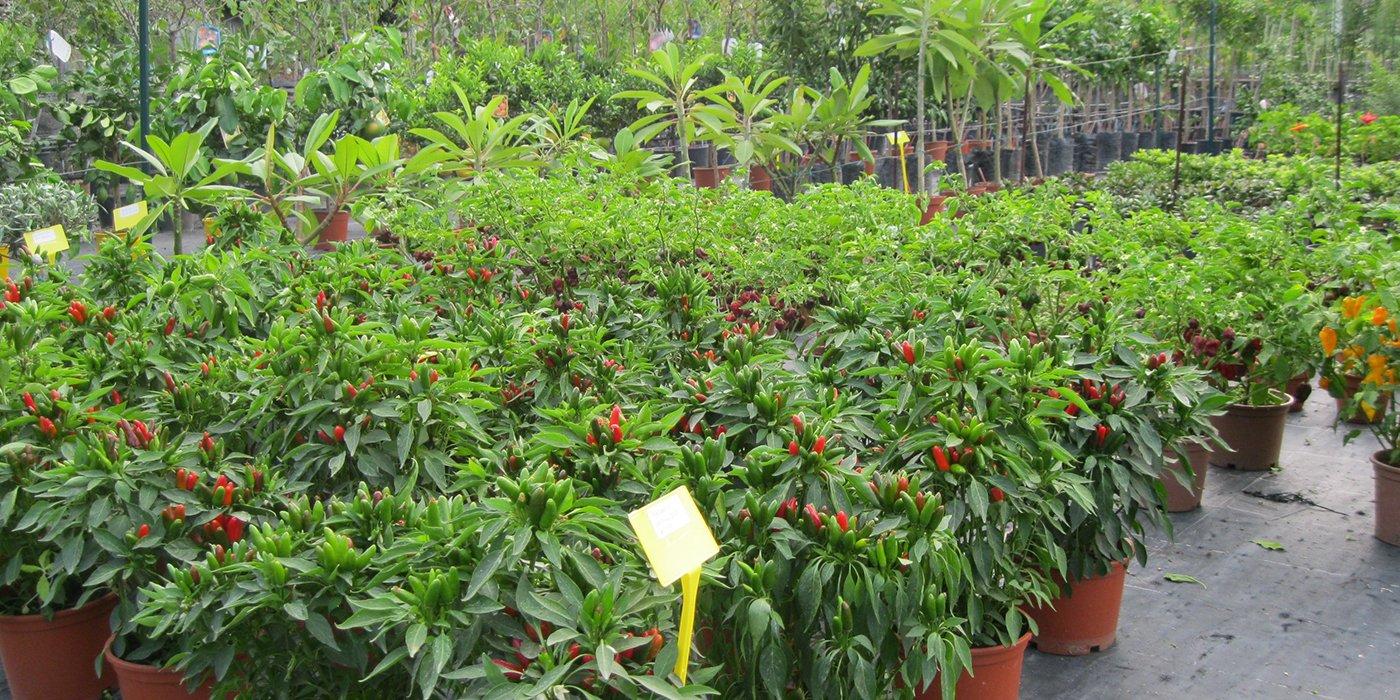 insieme di piante di peperoncino in una serra
