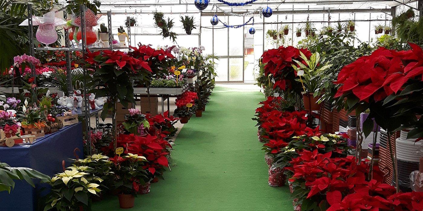 Stelle di Natale e piante di diversi tipi esposte all'interno di una serra