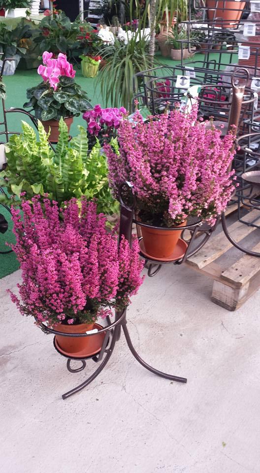 due piante di lavanda e una verde esposte in un porta vasi e dietro si vedono altre piante all'interno della serra