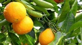 arancia, foglie