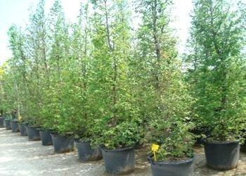 Vendita alberi e piante ornamentali treviso vivaio for Vendita piante ornamentali
