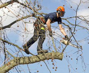 Tree surgery - Godalming, Surrey - K Shepherd & Son Tree Surgeon & Forestry - Tree felling