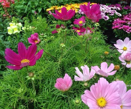 Pink, purple and yellow flowers amongst ferns and greenery