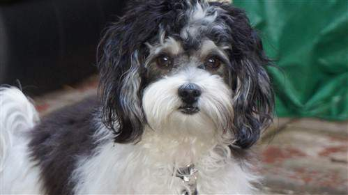 male 1 year old Maltipoo