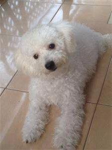 Maltipoo - Poodle Maltese mix