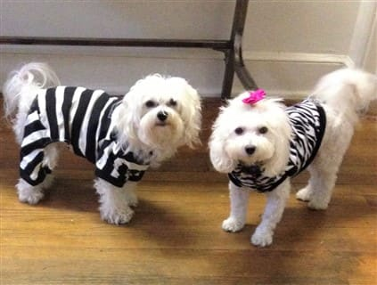 Maltipoos in Halloween costumes, zebra and convict