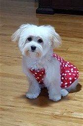 Maltipoo in red polka dot dress