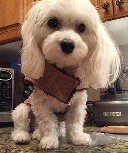 super cute Maltipoo dog