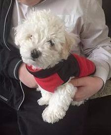 Maltipoo in red jacket