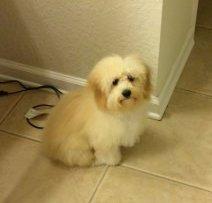 Maltipoo puppy screenshot