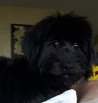 black male Maltipoo dog
