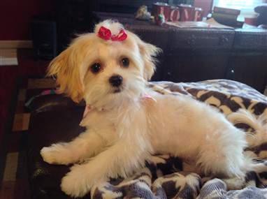 cute Maltipoo
