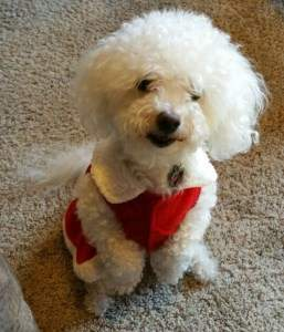 female Maltipoo 2 years old