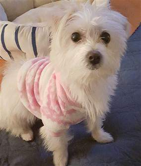 female maltipoo dog with pink shirt on