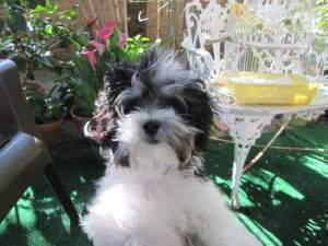 fluffy Maltipoo dog
