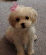 female Maltipoo 3 months old