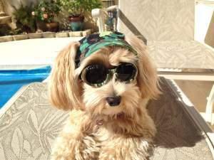 happy Maltipoo dog