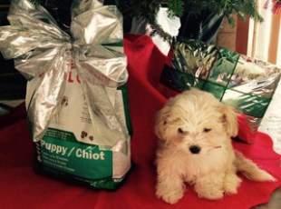 Maltipoo under christmas tree