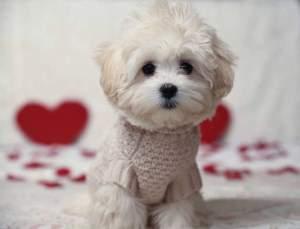 Maltipoo puppy 5 months old