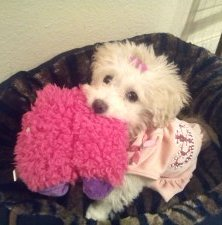 Maltipoo pup 5 month old female