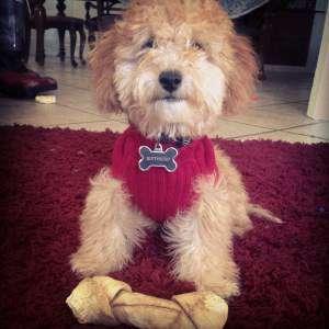 Maltipoo dog 2015