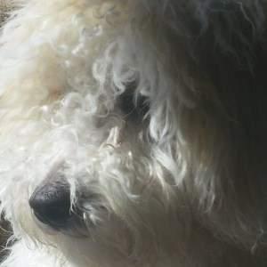 close up of Maltipoo dog