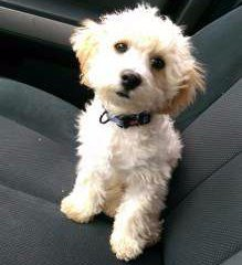 Maltipoo cream color 7 months old