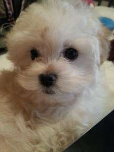 Maltipoo puppy with black eyes