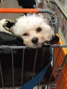 Maltipoo dog in shopping cart