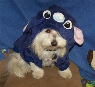 Maltipoo in Stitch costume