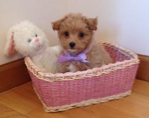 Maltipoo puppy in Easter basket