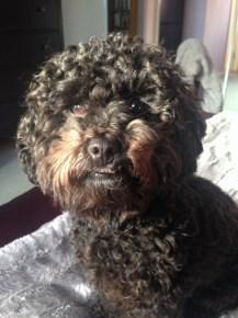 Maltipoo looks like Poodle