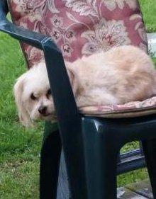 Maltipoo rescue dog