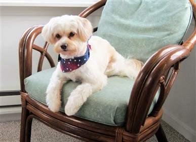 Maltipoo on rocking chair