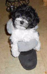 Maltipoo puppy on slipper