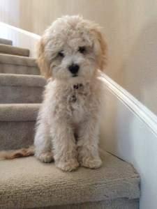 Maltipoo dog on staircase