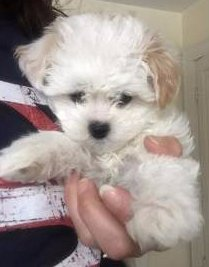 Maltipoo 3 month old puppy
