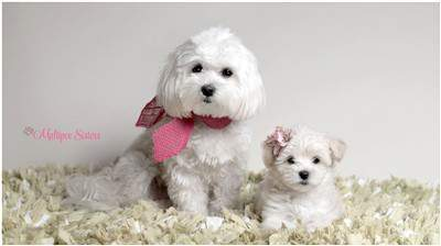 two Maltipoo dogs