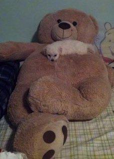 Maltipoo puppy on big teddy bear