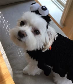Maltipoo in spider costume