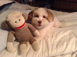 Maltipoo with stuffed toy